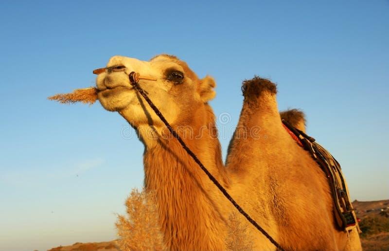 骆驼吃芦苇 免版税库存图片