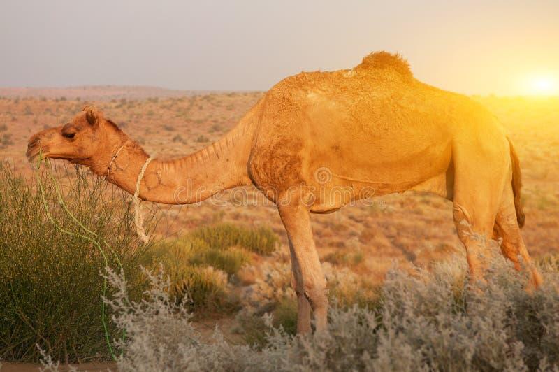 Download 骆驼吃 库存照片. 图片 包括有 哺乳动物, 家畜, 印第安语, 牧群, 干燥, browne, 敌意, 沙漠 - 62527326