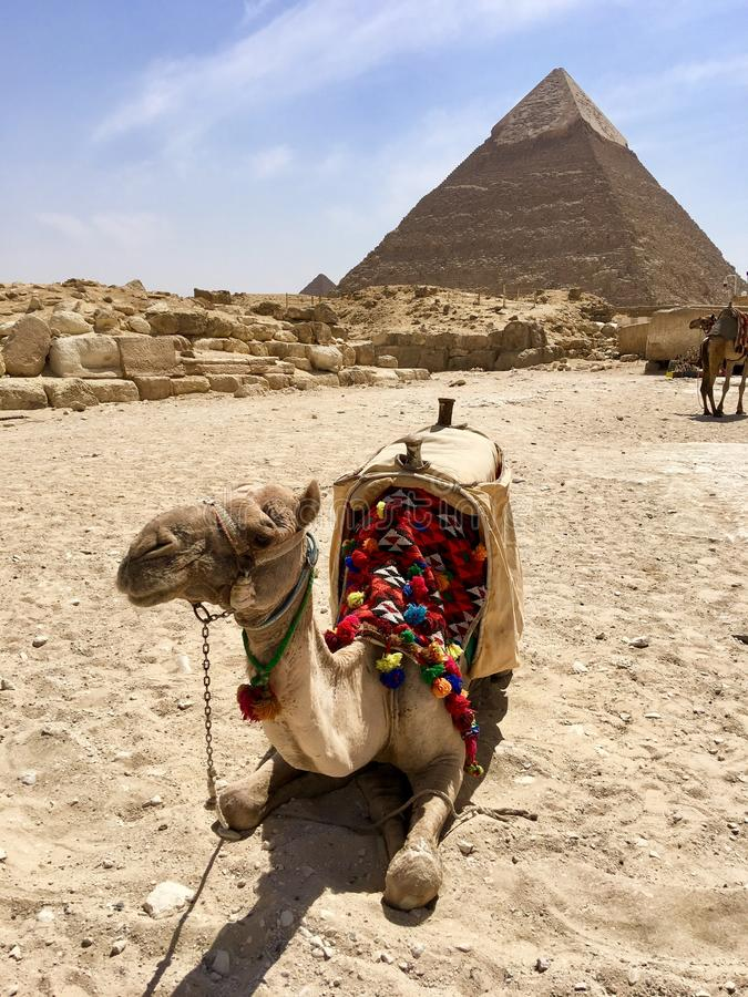 骆驼和金字塔 埃及 库存照片