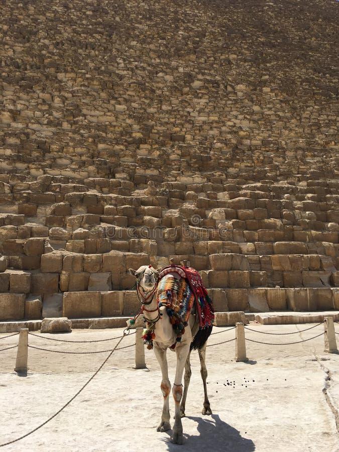 骆驼和金字塔 埃及 免版税库存图片