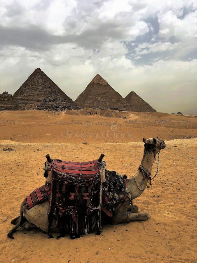 骆驼和金字塔 埃及 免版税库存照片