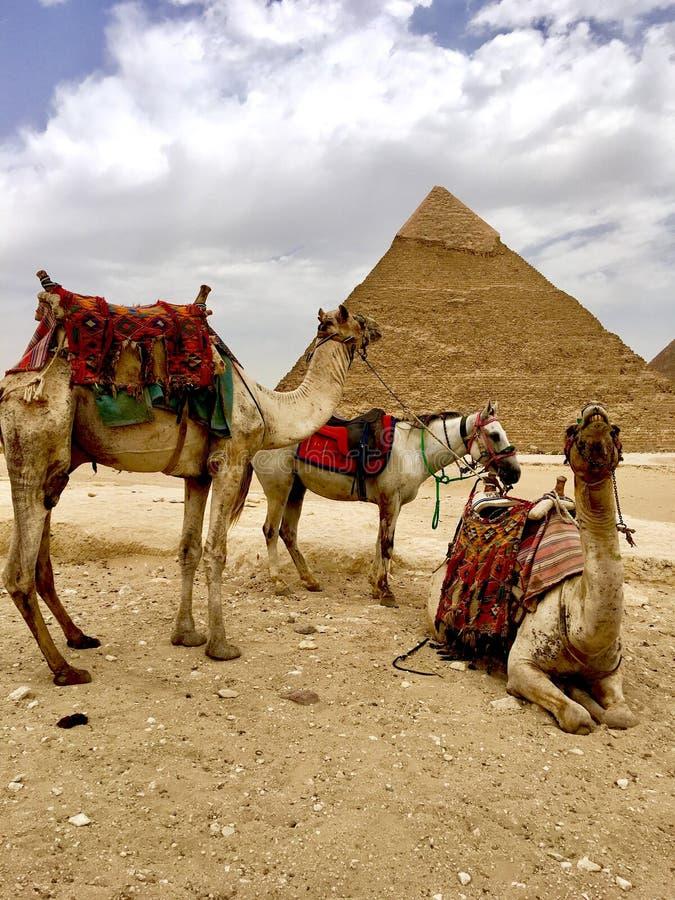 骆驼和金字塔 埃及 库存图片