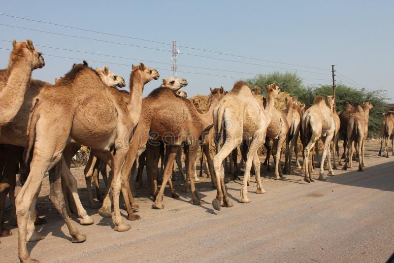 骆驼哺乳动物小组 免版税库存照片
