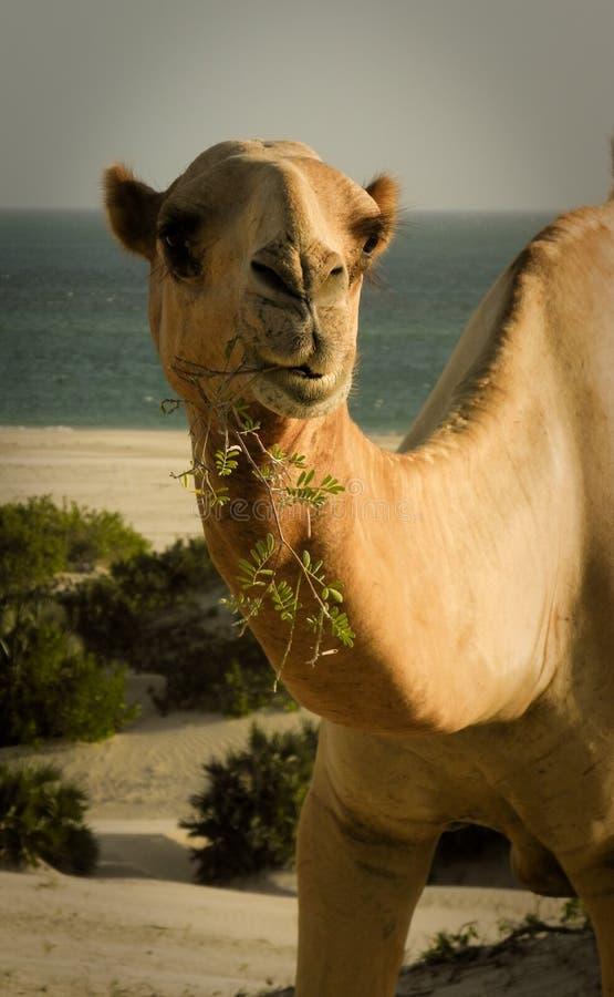骆驼嚼 免版税库存照片