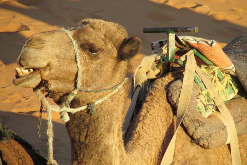 骆驼嚼 免版税图库摄影