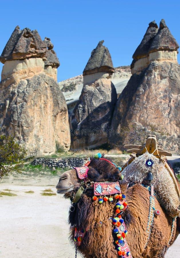 骆驼在卡帕多细亚,土耳其 库存图片