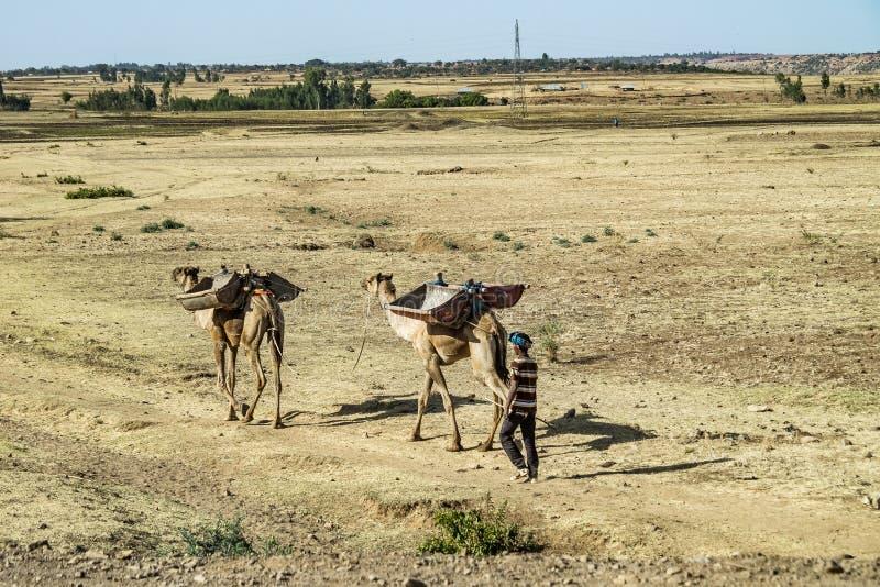 骆驼在塞米恩国家公园在埃塞俄比亚北部 图库摄影