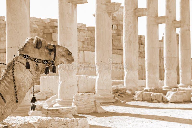 骆驼在扇叶树头榈古色古香的城市在叙利亚 图库摄影