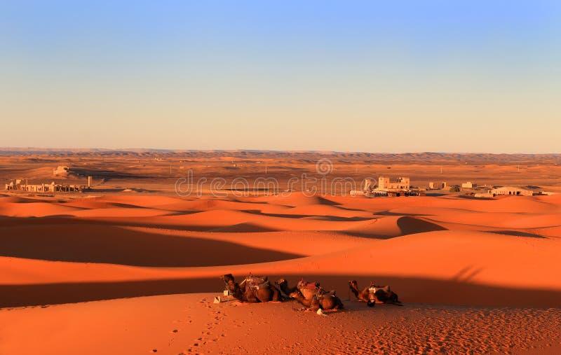 骆驼在日落的撒哈拉大沙漠 库存图片