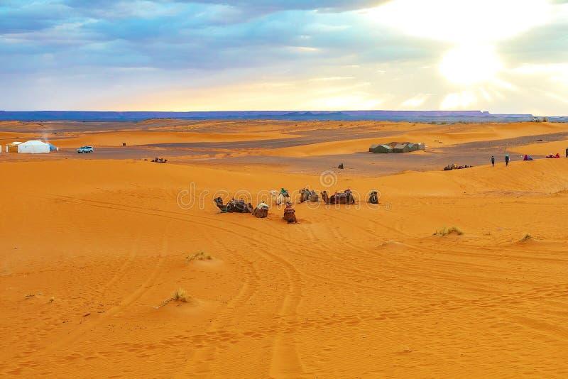 骆驼在沙丘在黎明在撒哈拉大沙漠 免版税库存图片
