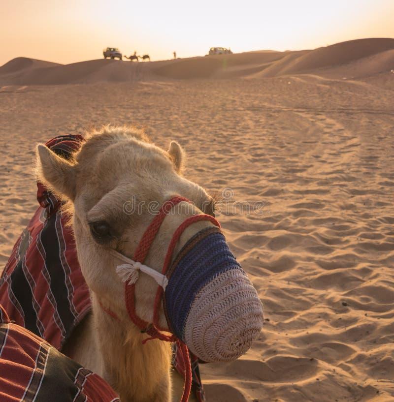 骆驼在沙扎,日落的阿拉伯联合酋长国与骆驼在背景中 免版税库存照片