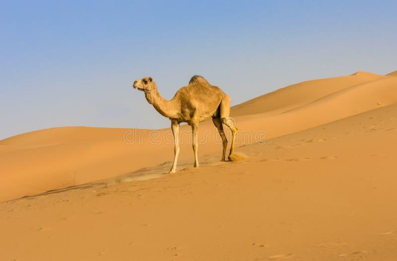 骆驼在海湾沙漠 库存照片
