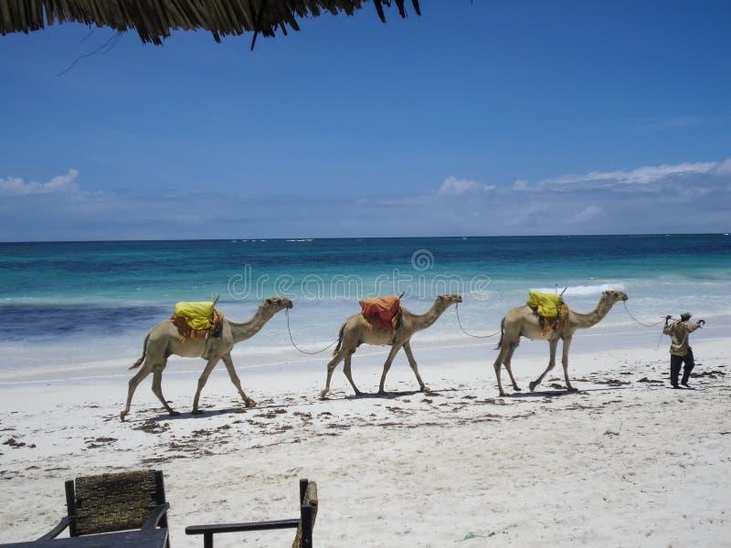 骆驼在狄亚尼海滩 库存图片