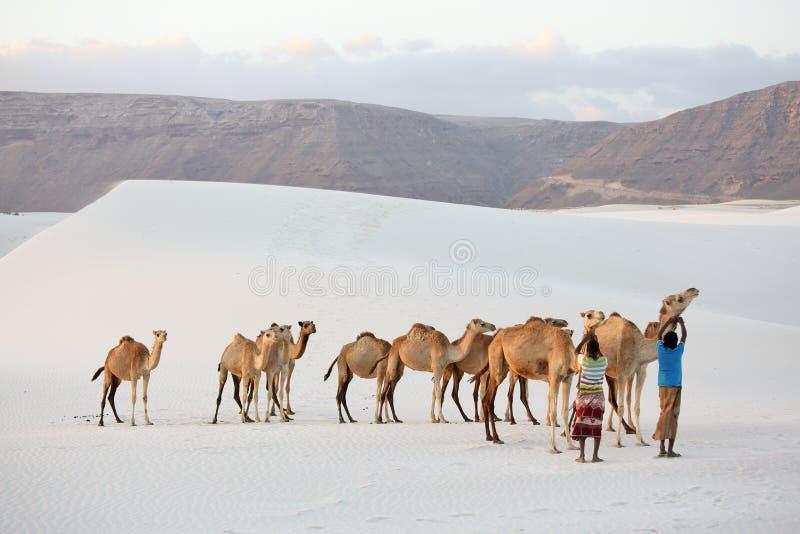 骆驼在白色沙子沙漠 免版税库存图片