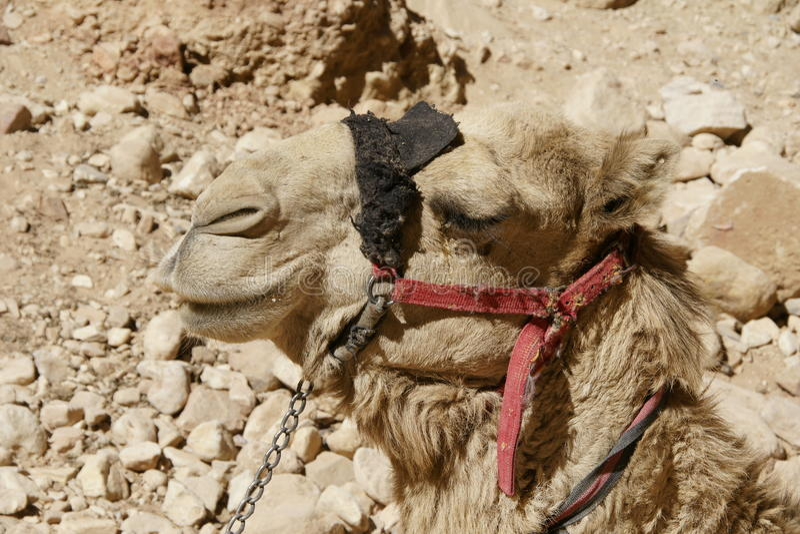 骆驼在约旦沙漠 库存照片