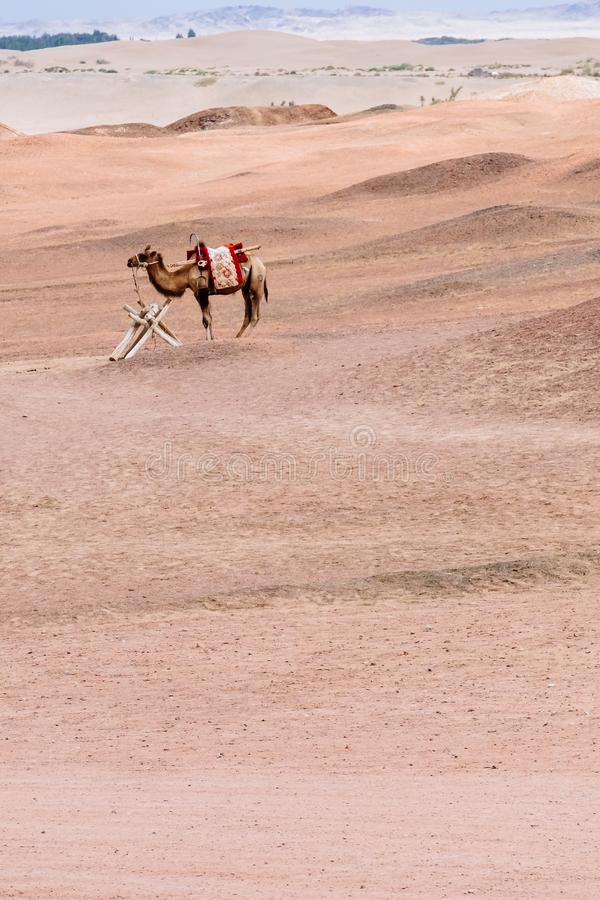 骆驼在贫瘠隔壁滩,杨通行证历史站点的,在阳关,甘肃,中国 库存图片