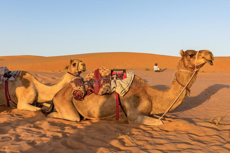 骆驼在阿曼沙漠 免版税库存图片