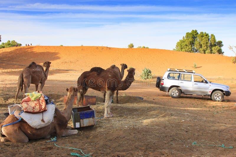 骆驼在Merzouga 免版税图库摄影