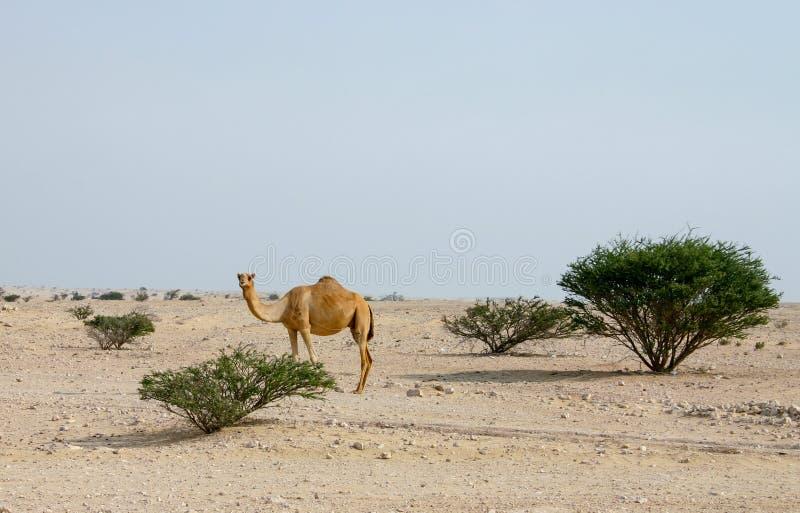 骆驼在Qatari沙漠 库存图片