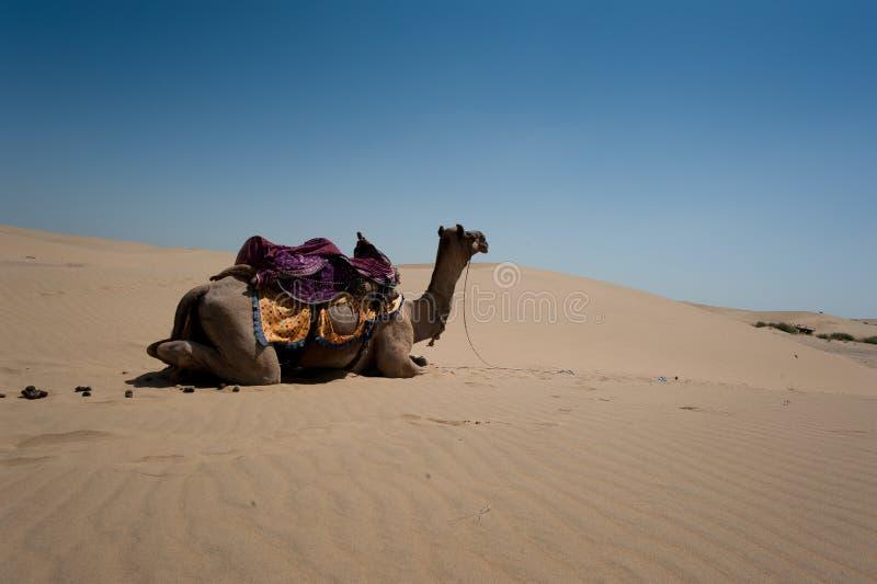 骆驼在Thar沙漠,印度 库存照片