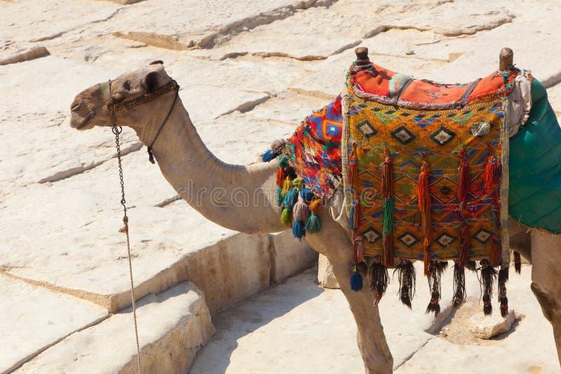 骆驼埃及吉萨棉金字塔 免版税库存图片