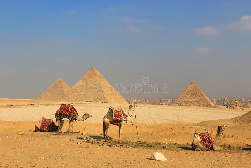 骆驼埃及的金字塔在吉萨棉 免版税图库摄影