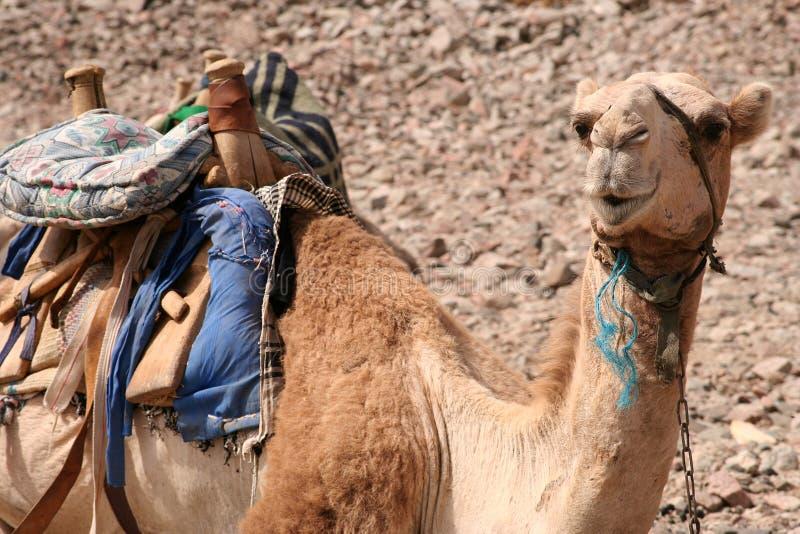 骆驼埃及 免版税图库摄影