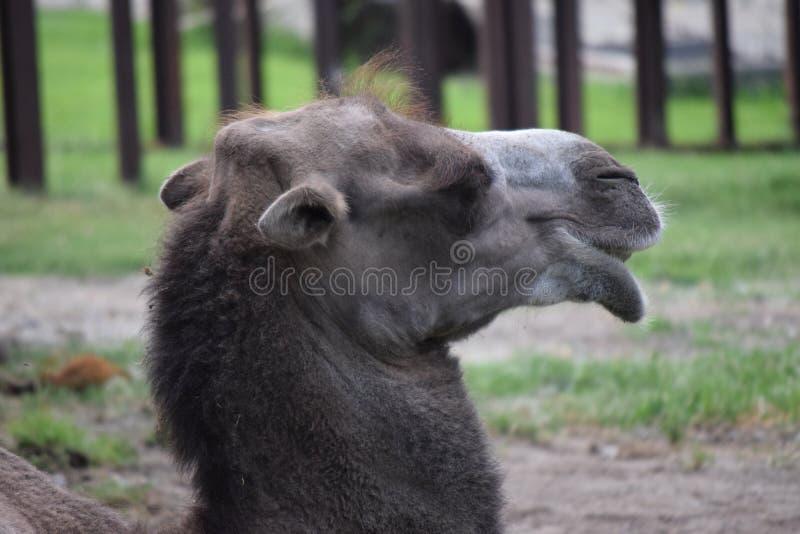 骆驼头外形视图  库存照片