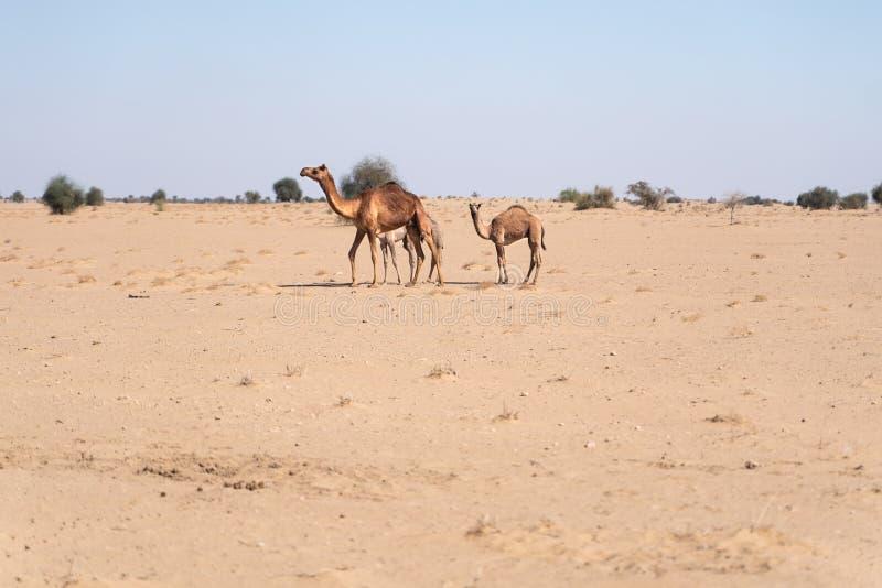 骆驼家庭在印度沙漠 免版税库存图片