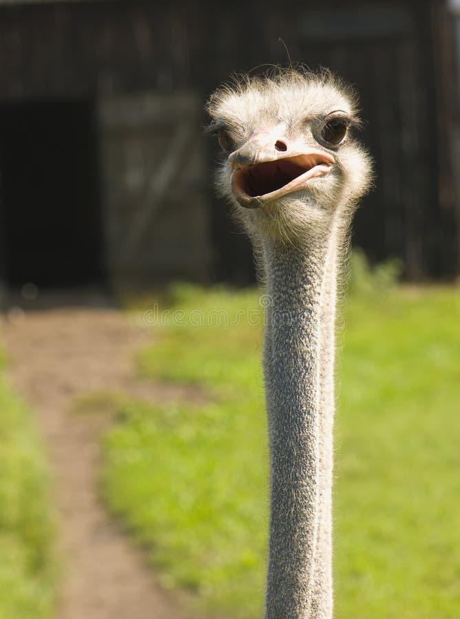 骆驼属非洲鸵鸟类 库存照片