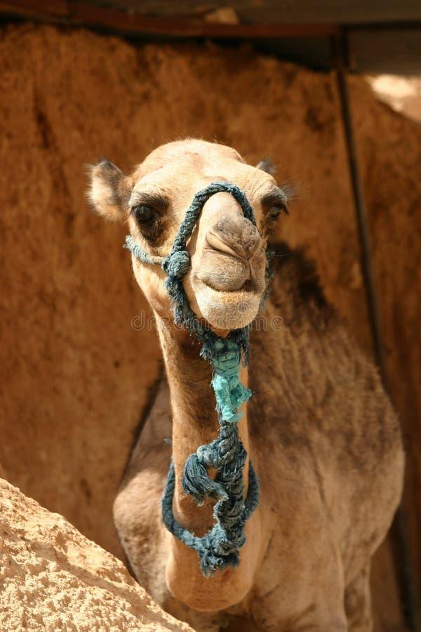 骆驼年轻人 库存图片