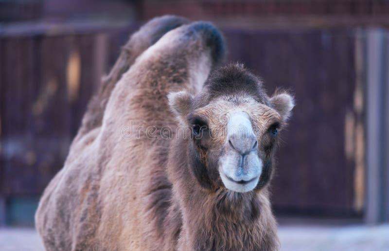 骆驼微笑的动物 免版税库存照片