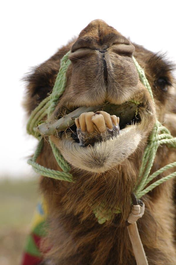 骆驼微笑 库存图片