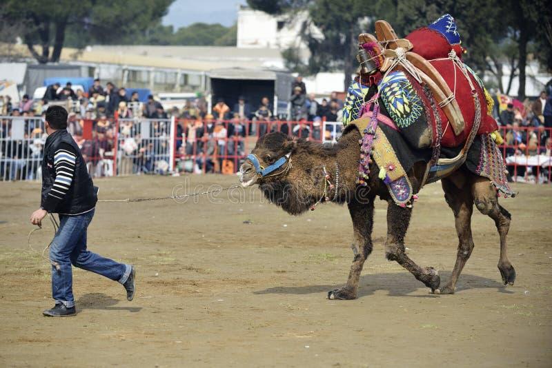 骆驼战斗 免版税库存照片