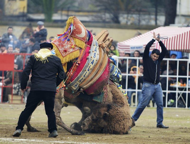 骆驼战斗 免版税库存图片