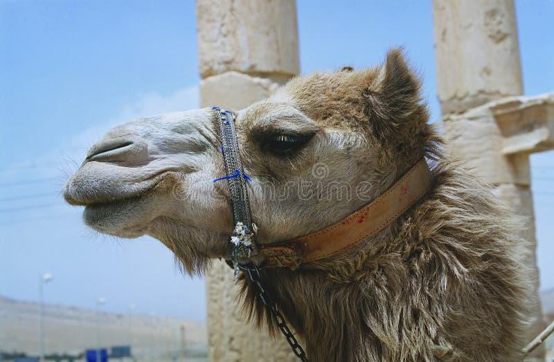 骆驼扇叶树头榈 库存照片