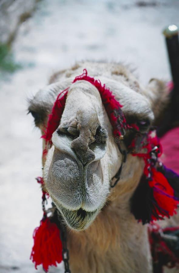 骆驼扇叶树头榈 免版税库存图片