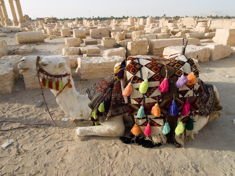骆驼扇叶树头榈 库存图片