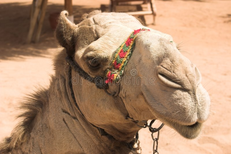 骆驼摆在 免版税库存照片