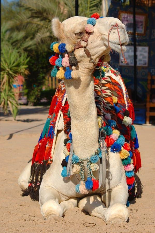 骆驼日 免版税库存照片
