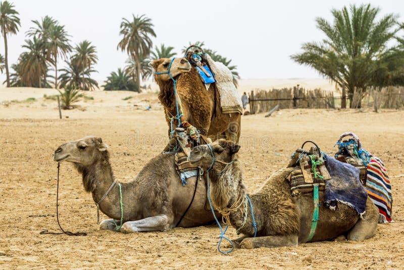 骆驼有蓬卡车在撒哈拉大沙漠,非洲 库存图片