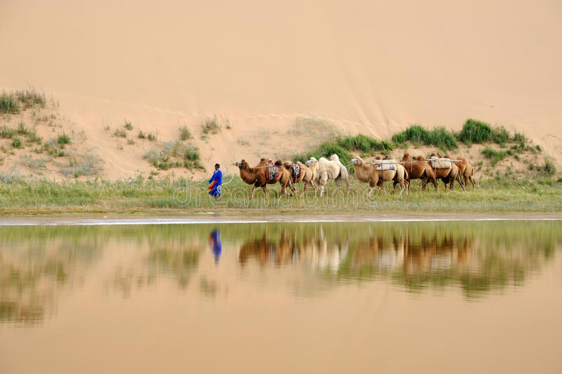 骆驼有蓬卡车在沙漠 库存照片