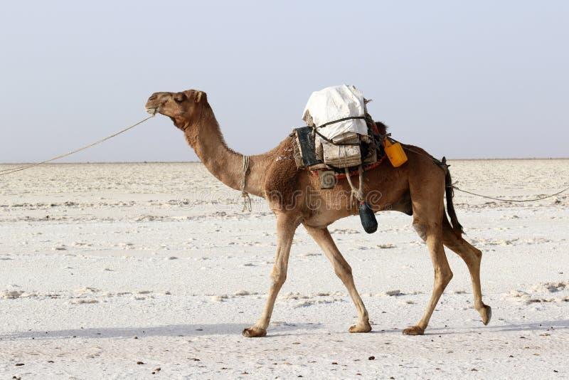 骆驼有蓬卡车运载的盐在非洲` s Danakil沙漠,埃塞俄比亚 库存图片