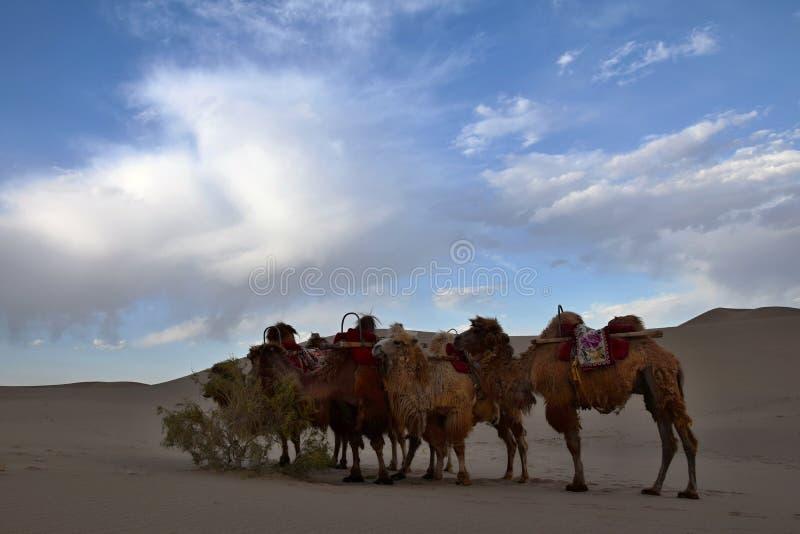 骆驼有蓬卡车采取沙漠的一基于 免版税库存图片