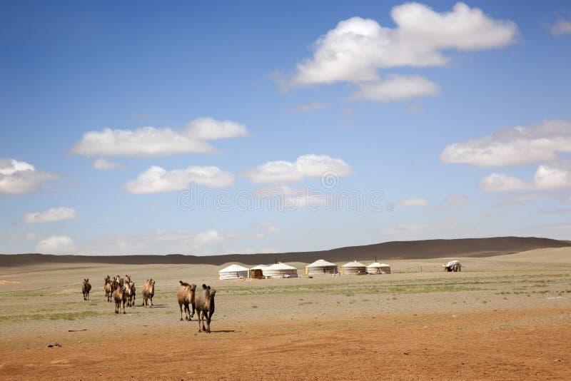 骆驼有蓬卡车 蒙古 免版税库存照片