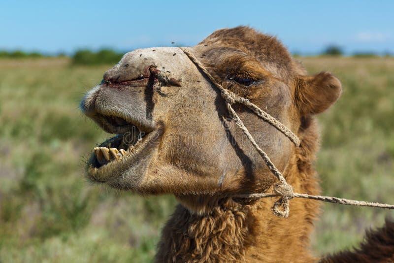 骆驼枪口  免版税库存图片