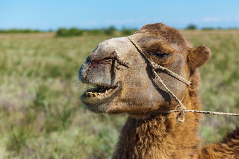 骆驼枪口  库存照片