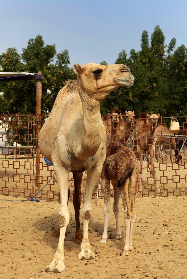 骆驼母亲 免版税库存图片