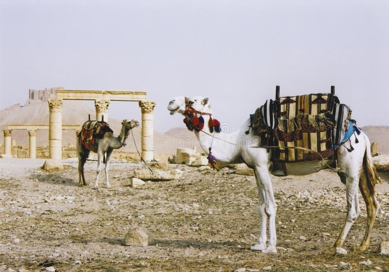 骆驼沙漠扇叶树头榈破坏叙利亚 免版税库存图片