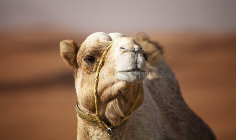骆驼沙漠 免版税库存照片